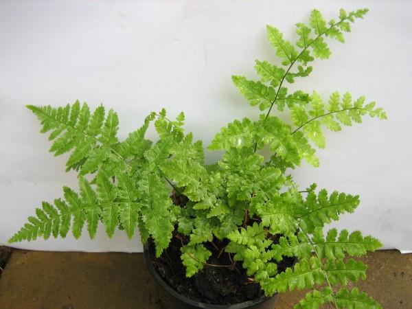 Polystichum setiferum (i.11cm T.) Weicher Schildfarn