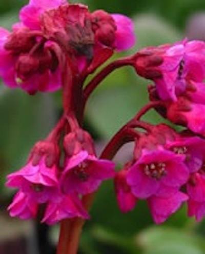 """Bergenia cordifolia """"Winterglow"""" (i.11cmT.) Bergenie"""