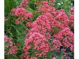 "Centranthus ruber ""Coccineus"" (i.9cmT.) Garten - Spornblume"