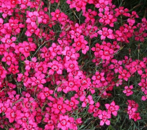 """Dianthus deltoides """"Brilliant"""" (i.9cmT.) Heidenelke"""