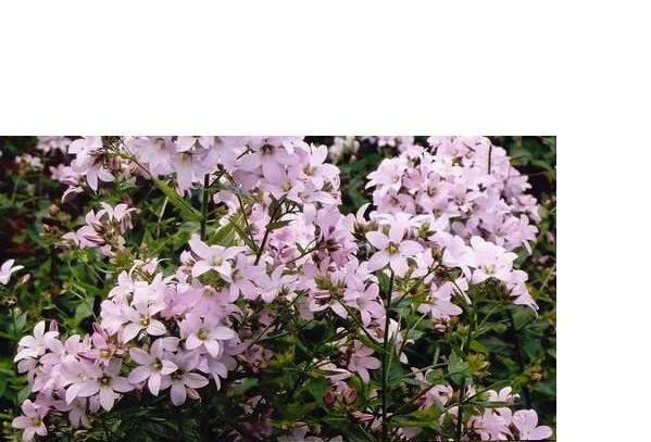 Campanula lactiflora ´Loddon Anne`(i.11cmT.) Riesen Dolden Glockenblume