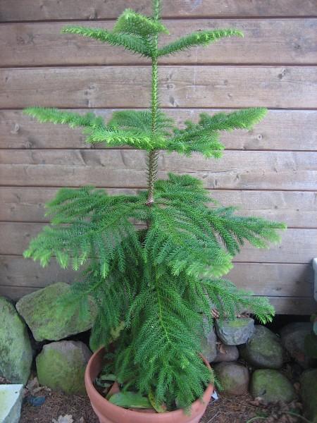 Araucaria heterophylia (i.12cmT.) Zimmertanne, Norfolk-Tanne