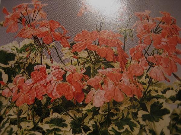 "Pelargonium ""Frank Headley""(I.9cmT.)"
