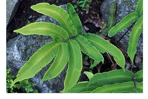 Dryopteris sieboldii (i.9cmT.) Siebolds Wurmfarn