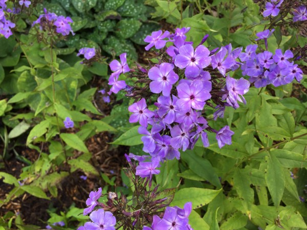 "Phlox paniculata ""Blue Paradise"" (i.11cmT.)"