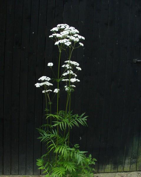 Valeriana officinalis (9cmT.) Baldrian