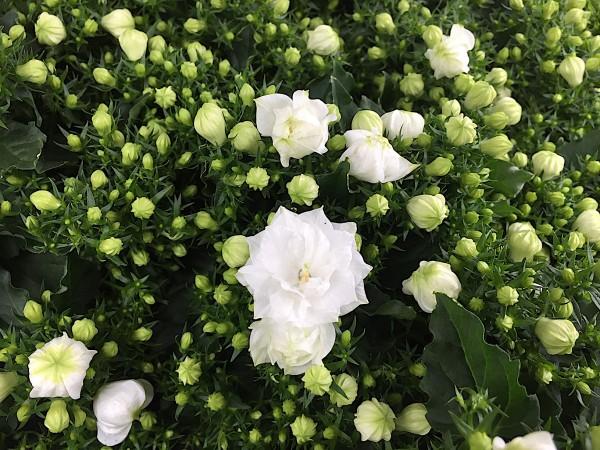 """Campanula isophylla """"White like me®"""" (i.11cmT.)"""