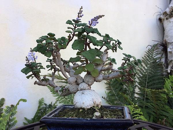 Plectranthus ernstii (i.9cmT.), Fangblatt, Stammsukkulente, Bonsai Minze