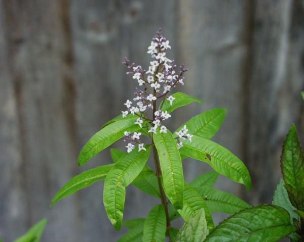 Lippia (Aloysia) citriodora (triphylla) (i.12cm T.) Zitronenverbene
