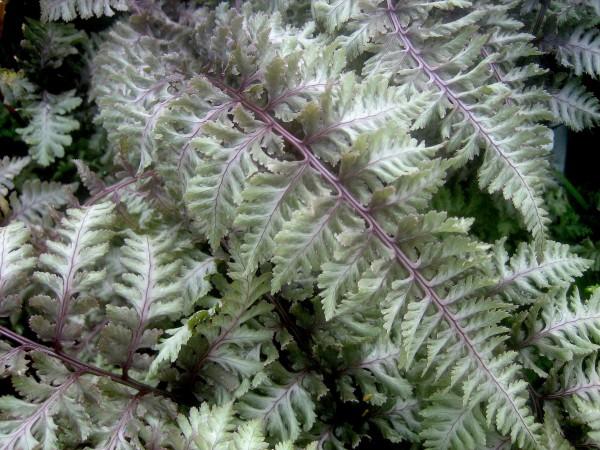 Athyrium nipponicum Burgundy Lace (i.1,5lcmT.) japanischer Regenbogenfarn