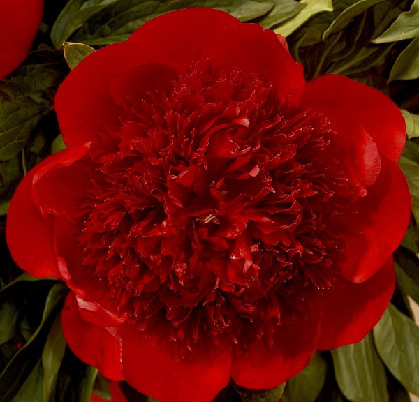 "Paeonia ""Red Charm"" (i.15cmT.) Pfingstrose"