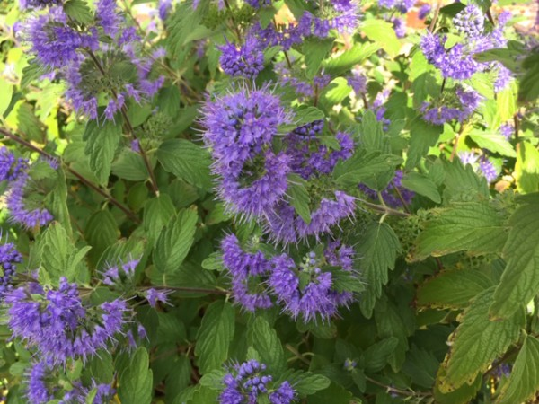 "Caryopteris clandonensis ""Heavenly Blue"" Blaue Bartblume (i.13lcmT.)"