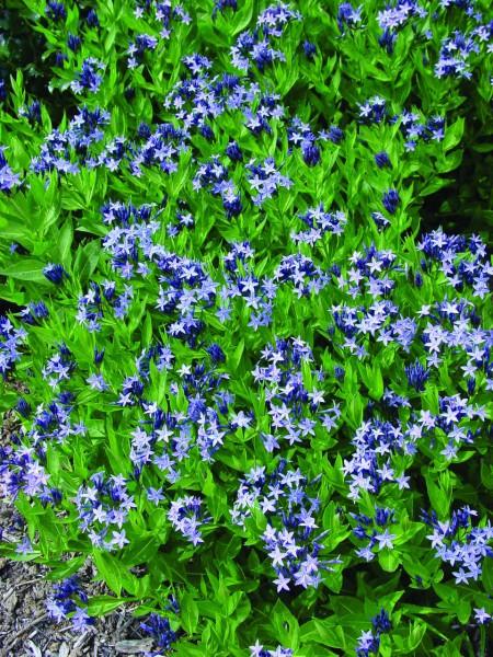 Amsonia ciliata Blue Ice (i.11cmT) Amsonia, Blaustern