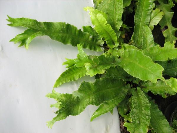 Phyllitis (Asplenium) scol. ´Cristatum`(i.9cmT.) Gegabelter Hirschzungenfarn