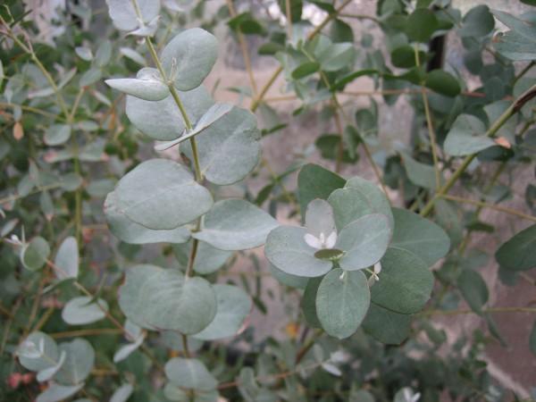 Eucalyptus ´Silbertaler` (i. 12cm T.) Eucalyptus