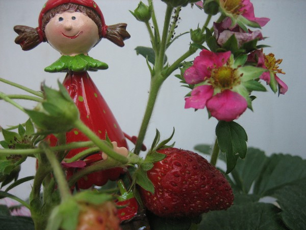"Fragaria ""Toscana"" Immertragend(12cmT.) Erdbeere (Ampel)"