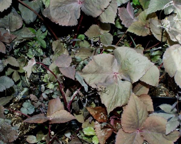 """Cryptotaenia japonica """"Atropurpurea""""(i.12T.) Japanische Petersilie"""