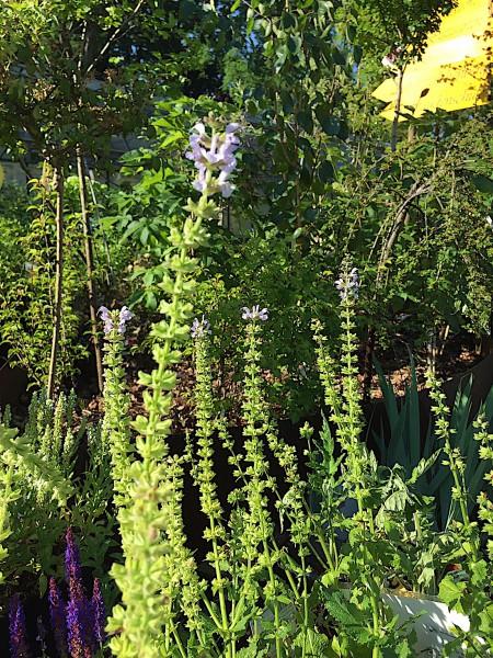 "Salvia nemorosa ""Crystal Blue""® (i.11cmT.) , zart blau"