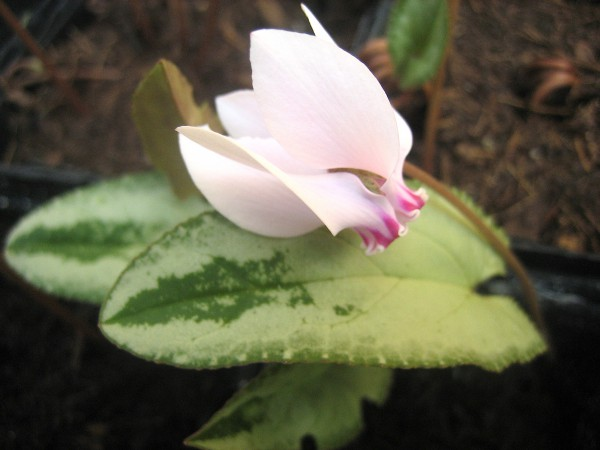 Cyclamen hederifolium rosa `Silverleaf m. grüner Pfeilspitze` (i.9cmT.)
