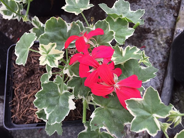 """Pelargonium """"Evka"""" (i.11cmT.) Hänge- Geranie"""