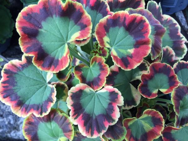 "Pelargonium ""Contrast"" (I.11cmT.), Blattschmuck Geranie"