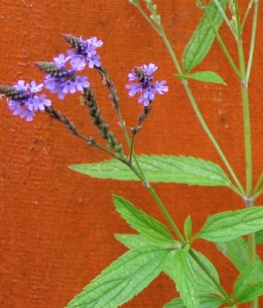 Verbena officinalis (i. 12cm T.) Eisenkraut, Verveine