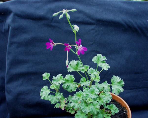Pelargonium ´Lavender Lad`(I.11cmT.)