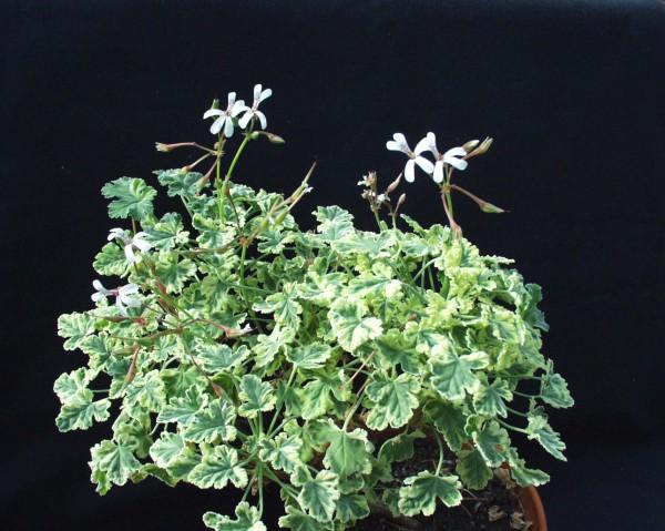 Pelargonium fragrans ´Variegatum`(I.11cmT.)