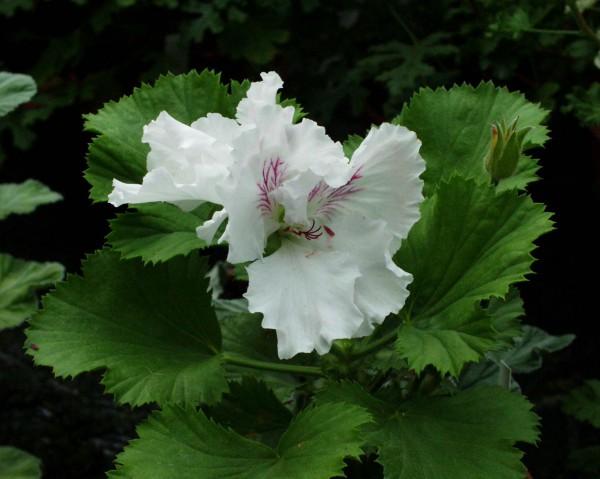 Pelargonium x domesticum ´Grandma Moses`(I.11cmT.)