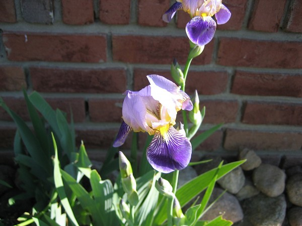 """Iris barbata-elatior """"Blaue Lippe"""" (i.11cm T.) Schwertlilien"""