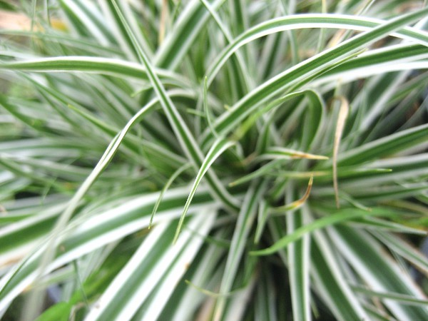 "Carex conica ""Everest"" (i.9cmT.) Garten Segge, wintergrün"