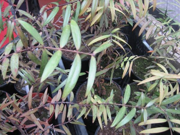 Agathis australis (i.11 cm T.) Kauri Baum, Neuseeland