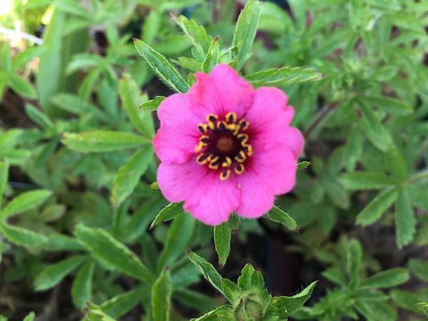 """Potentilla nepalensis """"Miss Willmott"""" (i.11cmT.)"""