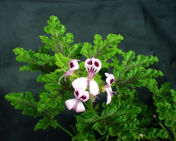 Pelargonium quercifolium ´Royal Oak`(I.11cmT.)
