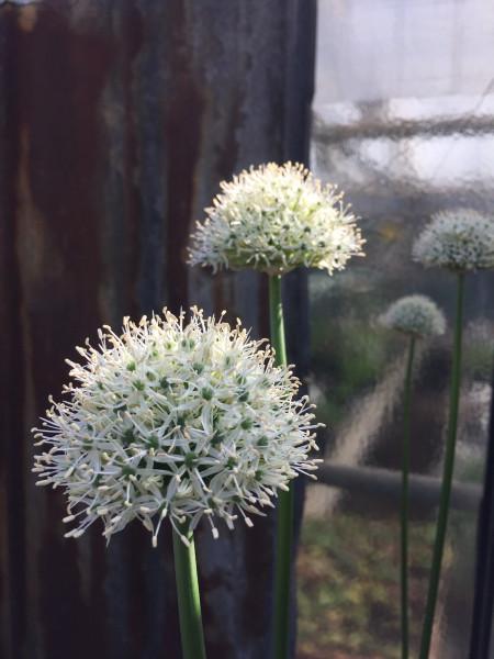 """Allium """"Mont Blanc"""" (1 lose Zwiebel), Zierlauch"""