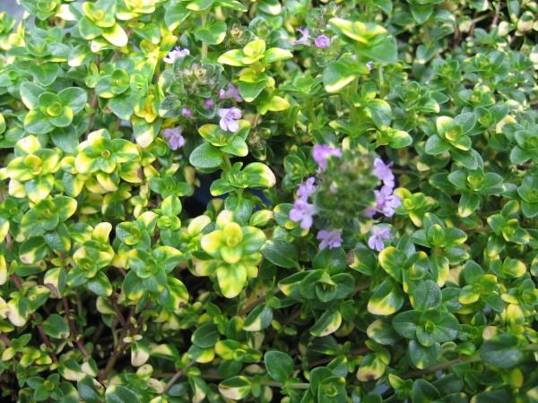 "Thymus comosus ""Doone Valley"" (i.12 cm T.) Zitronenthymian, schopfig"