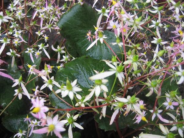 "Saxifraga cortusifolia var. fortunei ""Rubrifolia"" (i.12cmT.) Japan. Oktober Steinbrech"
