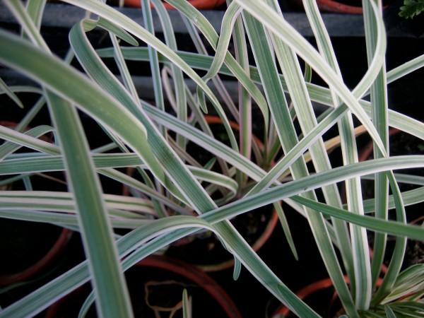Tulbaghia violacea ´Variegata` (i.9cmT.) Zimmerknoblauch, weißbunt