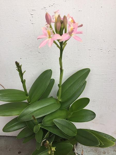 Epidendrum radicans rosa Star Hybride (i.10cmT.)