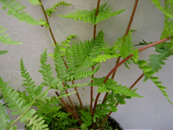 Athyrium f. - f. ´Lady in Red`(i.11cmT.)