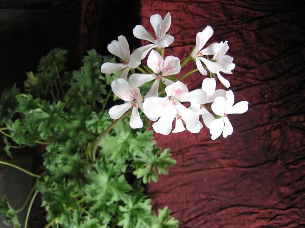 "Pelargonium ""Eisblüte"" (i.11cmT.)"
