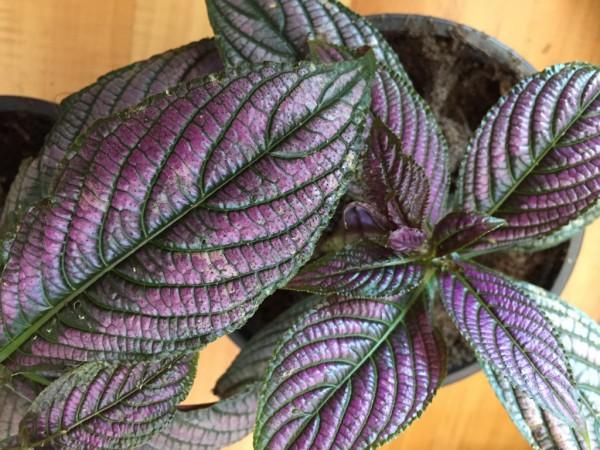 Strobilanthes dyerianus (i.11cmT.) Persische Schildpflanze, Persian Shield