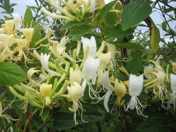 """Lonicera japonica """"Halliana""""(i.2lT.), Geissblatt, duftendes"""