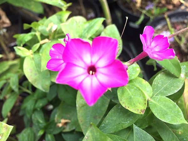 "Phlox paniculata ""Purple Eye Flar"" (i.19cmT.)"