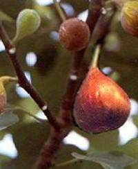 "Ficus carica ""Brown Turkey""(i.14cm T.)jetztca 45cm"