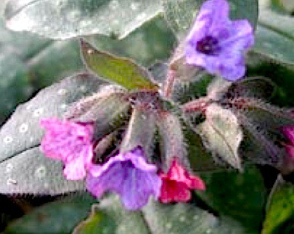 "Pulmonaria officinalis ""Wuppertal"" (i.11cmT.) Lungenkraut, geflecktes"