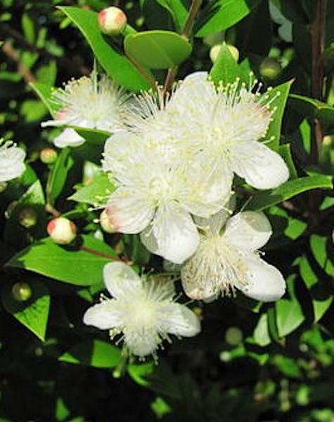 Myrtus communis (i.12cm Topf) Brautmyrten Stämmchen