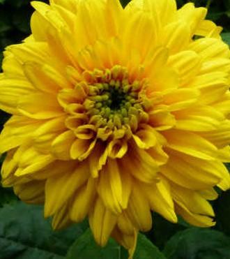 """Helianthus decapetalus """"soleil d'or"""" (i.11cm T.) Garten-Stauden Sonnenblume"""