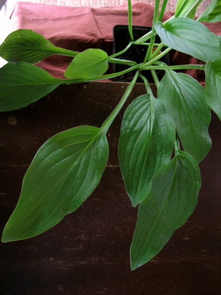 "Hosta x plantaginea ""Honeybells"" (i.9cmT.) Duft- Funkie"