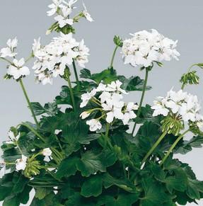 Pelargonium Sternblütige ´Fireworks White` (i.11cmT.)
